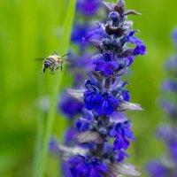 IMG_2258 пчела :: Олег Петрушин