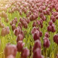 тюльпаны, тюльпаны, тюльпаны.... :: Вадим Куликов