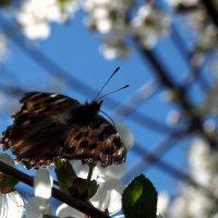 Весна и бабочка :: Андрей Зайцев