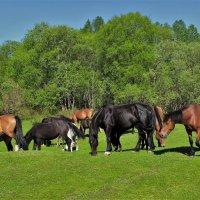 Бродят кони по лугам :: Сергей Чиняев