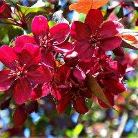 Яблонька пурпурная. :: Валерия Комова