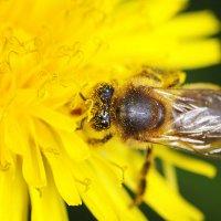 завтрак пчелы :: Мария Ставцева