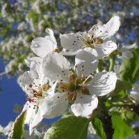 Груща цветёт :: Анатолий