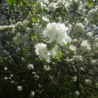 Цветы на яблоне :: Tarka