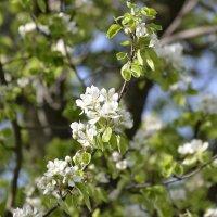 яблони в цвету :: Михаил Радин