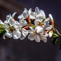 весенние подарки природы,,,, :: александр варламов