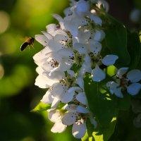 Пчелка :: Валентина Ломакина