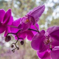 Орхидея :: Elena Ignatova