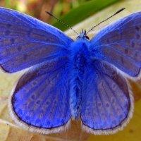 Голубянка Икар. :: оля san-alondra