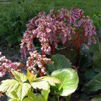 Бадан цветёт. :: Мила Бовкун