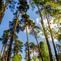 сосновый лес :: Дмитрий Носов