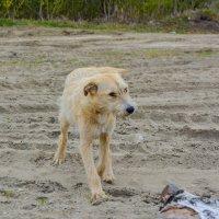 белый пёс :: Света Кондрашова