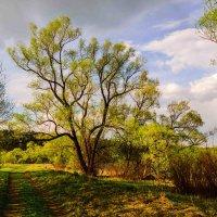 Дерево у лесной дороги :: Павел Кочетов