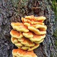 Куриный гриб или трутовик серно-желтый. :: Анатолий. Chesnavik.