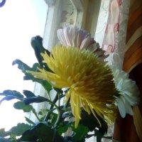 Хризантемы на юбилей мамы! :: Светлана Калмыкова