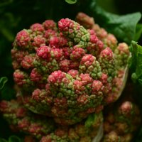 Цветы ревеня :: Наталья Тагирова