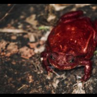 Красная лягушка с Мадагаскара называется ЛЯГУШКА-ПОМИДОР! :: Александр Вивчарик