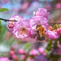 Сакура цветет. :: олег