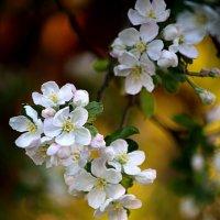 Яблоня цветёт... :: Евгения Иванова