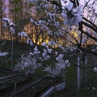 Цветущий абрикос и войлочные вишни на воне закатного неба. :: Валерий Изотов