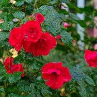 Розы :: Тарас Леонидов