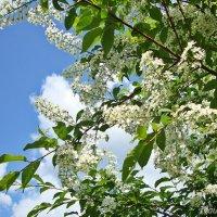 Черемуха цветет :: Лидия (naum.lidiya)