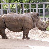 Носорог в Киевском зоопарке :: Lukum