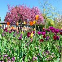 Гамбург. Тюльпаны и сакура у входа в Ботанический сад :: Nina Yudicheva