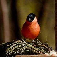 снегирек :: linnud
