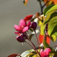 Яблонька цветёт. :: юрий Амосов