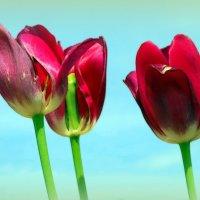 Недолог век тюльпанов.. :: Андрей Заломленков