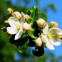 Цветущая яблоня! :: Юлия Семенченко