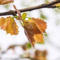 Молодые листья берёзы :: Виталий