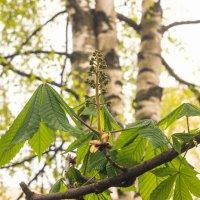 Молодые листья каштана :: Виталий