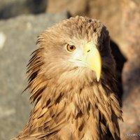 грозная птица или острый глаз :: Олег Лукьянов