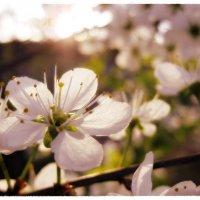 ...когда яблони цветут... :: Лена L.