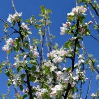 Яблоня цветёт :: Ольга