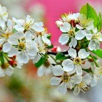 Цветет вишня в саду :: Владимир Зыбин