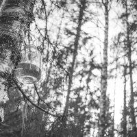 Я в весеннем лесу пил берёзовый сок :: Сергей Смирнов
