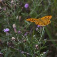Бабочка красавица ... :: Олег Кистенёв