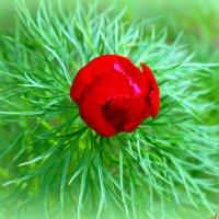 Цветет пион тонколистный :: Андрей Заломленков