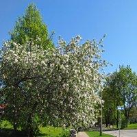 Яблони цвет :: veera (veerra)