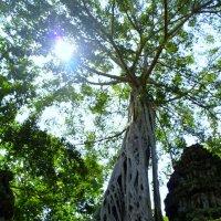 Камбоджа.Корни гигантской лианы :: Ivan G