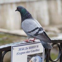 Амбиции или мечты голубя :: Александр Витебский