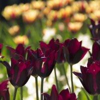 Тюльпаны :: Анна Кокарева