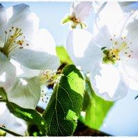 Майское цветение :: Елена Решетникова