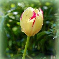 Разноцветье тюльпанов :: Андрей Заломленков