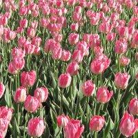 Фестиваль тюльпанов на Елагином :: Маера Урусова