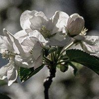 пора цветения - бутоньерка :: Galina