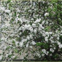 Цветы яблони :: Вера
